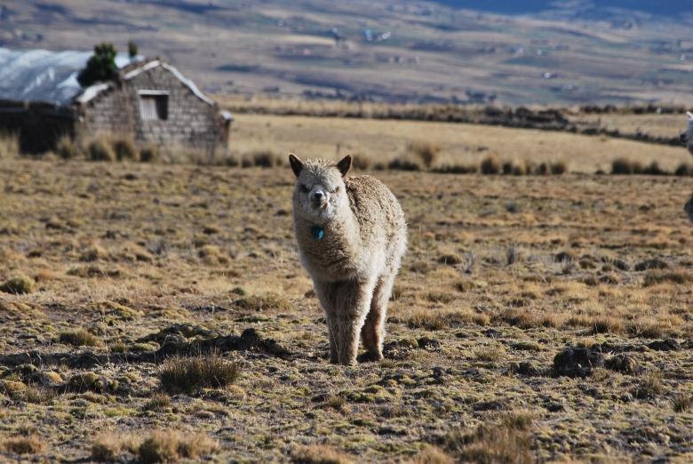 Wiggins-Victor's Alpaca